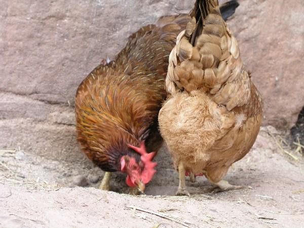 Hühner im Rheinischen Freilichtmuseum Kommern, 2005