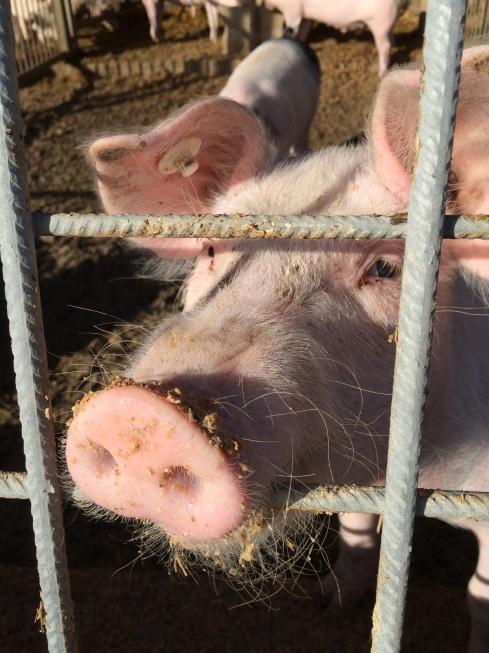 Schwein im Kloster Plankstetten, November 2015
